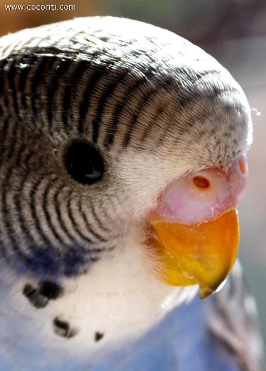 Budgerigar close-up!!!